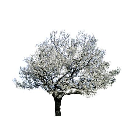 Cerisier blanc détouré