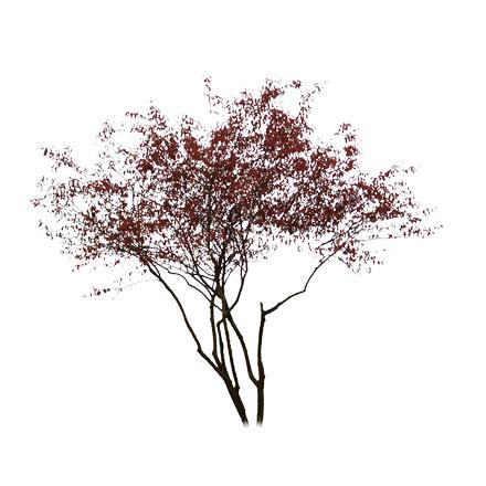Amélanchier rouge