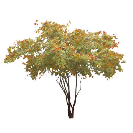 Amélanchier orange