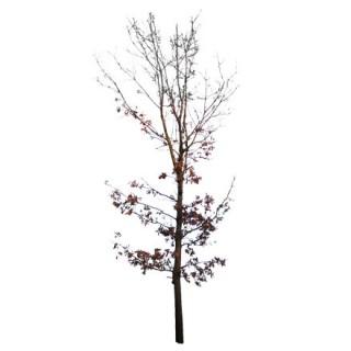 Petit chêne en hiver