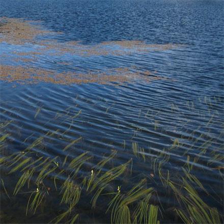 plante aquatique de lac