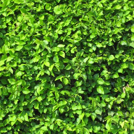 Haie buisson verte