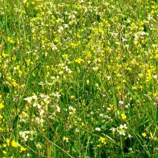 Herbe avec des fleurs jaunes