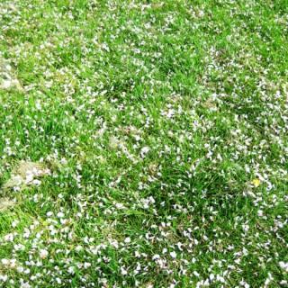 Herbe au printemps