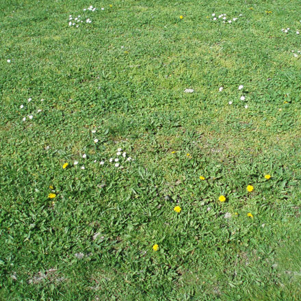 Pelouse parsemée de fleurs