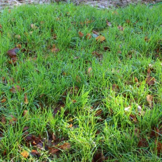 Herbe verte claire mouillée