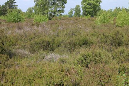 Prairie de bruyère
