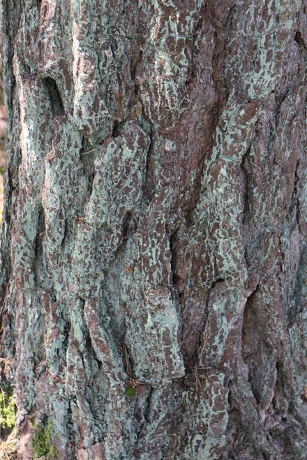 Écorce de pin