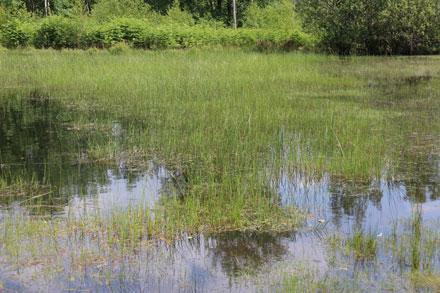 Graminées dans un étang