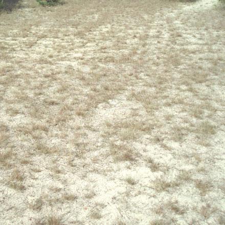 Herbe sèche sur sol sableux