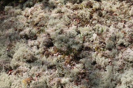Lichen blanc